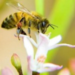 Αποφάσεις, αποφάσεις: οι μέλισσες ψάχνοντας για νέο σπίτι, δουλεύουν σαν περίπλοκοι εγκέφαλοι
