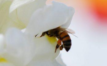 ελκυστικά για τις μέλισσες