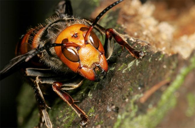 Ασιατική σφήκα